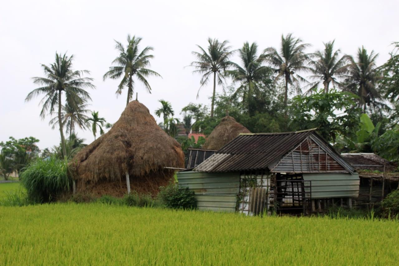 Pola ryżowe w okolicy Hoi An, Wietnam 2019 r.