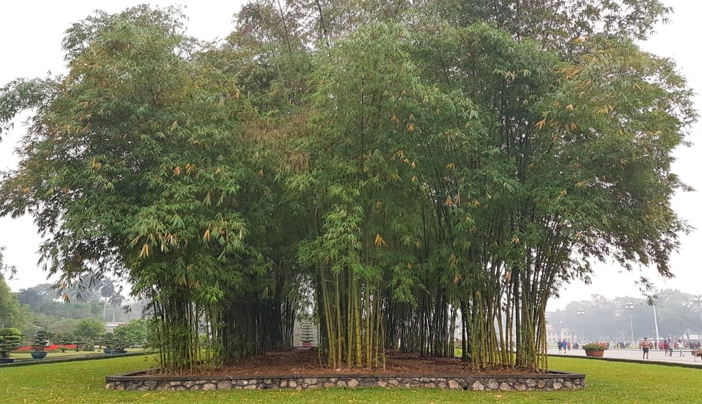 Mini las bambusowy w parku przy Mauzoleum, marzec 2019 r.